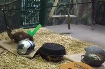 Orangutan from Utah Zoo that's a perfect 8-0 in Super Bowl predictions picks Panthers