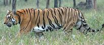 DNPWC launches tiger census
