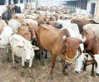 Cow protection group leader shot at by cattle smugglers