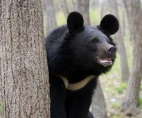 Gunma bear driven away by karate punches after picking fight with wrong person