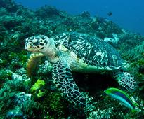 GPS Tracking Technology To Save Endangered Hawksbill Turtles