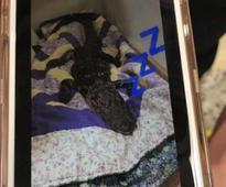 Dead alligator in Florida dorm room means warning for students