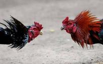 Andhra Pradesh's Jallikattu: Cockfights continue to be popular despite HC ban