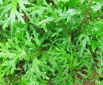 Uttarakhand Government Allocates Rs 25 Crore To Search For Mythical Medicinal Herb - Sanjeevani Booti