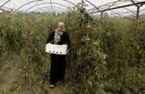 In Syria's Tartus, displaced work fields of farmers at war