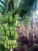 Security situation in Mindanao a bane to banana exporters