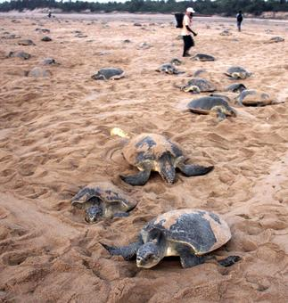 6 lakh Olive ridley turtles return to Odisha's beaches to lay eggs