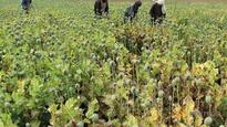 Families in the fields as annual Afghan poppy harvest begins