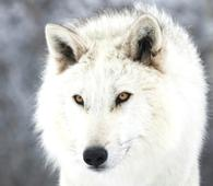 Alberta animal trainer working with Quigly the wolf on Game of Thrones