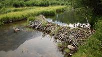 Prosthetic leg found in beaver dam, returned to owner
