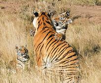 Another tiger falls prey to poachers at Panna tiger reserve in MP