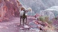 Hikers, bighorn sheep meet on Grand Canyon trail