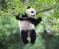 Bye, Bao Bao! Later, Mei Lun and Mei Huan! Pandas leaving US
