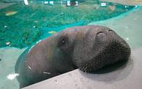 Meet Snooty, the oldest manatee in the world