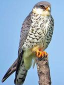 Call to protect Amur Falcons in Nagaland
