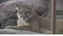 Groups call State's cougar...