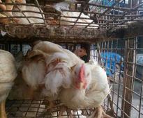 Death of 23k chickens in Karnataka may trigger culling of 1.5 lakh birds