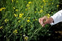 GE mustard vs bees: Attention generated for the key pollinator will benefit farmers