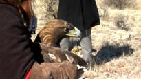 Team Effort Saves Golden Eagle in Arizona