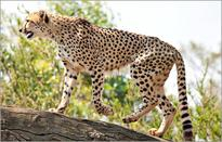 Extinct for 60 years, Cheetah is an alien species in India