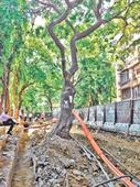 Khar trees to face road-widening axe?