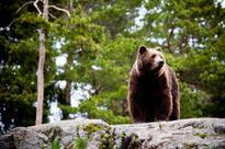 Bear attack at Capilano River Park