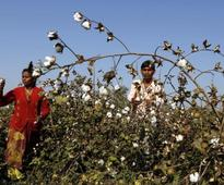 Failure of Bt cotton forces govt to promote native seeds