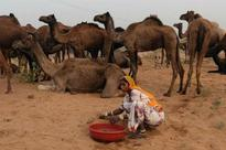 Illegal camel slaughter in Bijnor again, 6 carcasses found in village