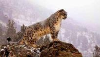 Endangered snow leopards witness a surge in Himalayas
