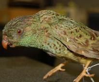 Native Australian bird spotted after 100 years