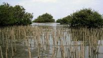 Red Sea mangroves fight back in the face of global decline