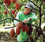DA allots P16 M for cacao farming in Zamboanga