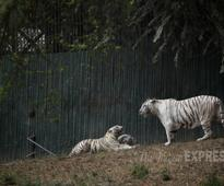 Royal Bengal White tigers  Delhi zoo's showstoppers