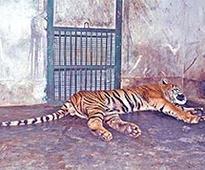 Tiger dies at State Zoo