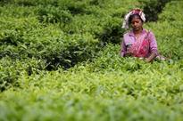 Strike begins in Bengal's tea gardens