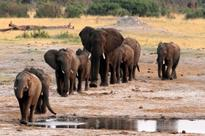 Ivory trade debate resurfaces as southern Africa's elephants thrive