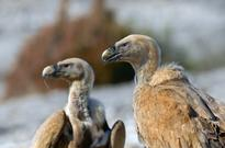 News Cattle drug threatens thousands of vultures