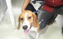 Love for dogs lands youths in police custody: 4 steal beagle puppy in Hyderabad