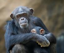 Delhi zoo plans grand bash for oldest inmate as chimpanzee Rita turns 56