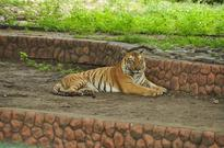 Why tigress Jamuna escapes from Indore zoo enclosure