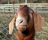 Goat released on Bail after trespassing