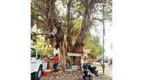 Social media campaign to save 70-year-old tree