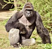 Outrage mounts over gorilla killing in boys rescue at Ohio zoo