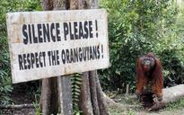Aussie researchers to give more video games to Orangutans at Melbourne zoo