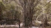 Cabinet approves proposal to harvest bamboo on private lands