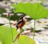 Kingfisher chick rests on lotus flower in Beijing's Yuyuantan Park