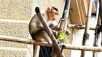 Forest department wants BMC to handle monkey menace
