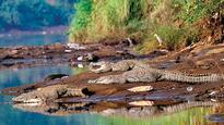 Experts initiate first study of crocodiles
