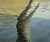Jaws, Section I - Saltwater Crocodiles: Animal Planet on the Looney Front, Part 10