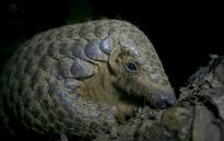 Will ban on trade of pangolins give 'the world's most trafficked animal' a chance to survive?